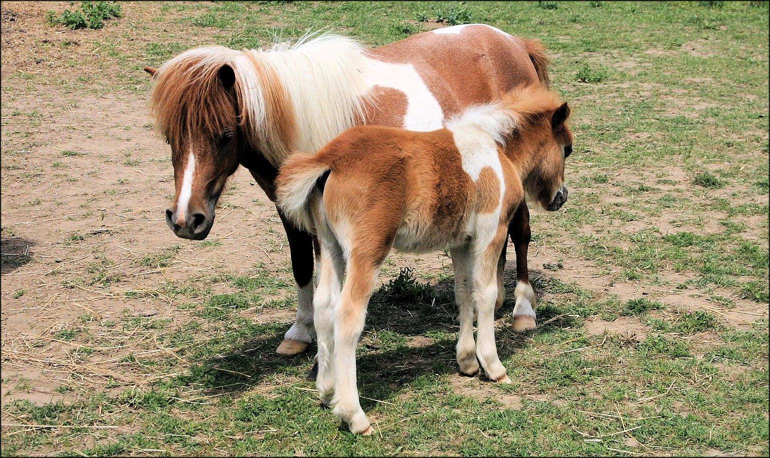 paardje en veulen